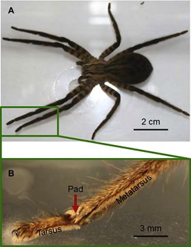 (A) Adult female Cupiennius salei. (B) The distal end of a leg of Cupiennius with an arrow pointing to the joint between tarsus and metatarsus.