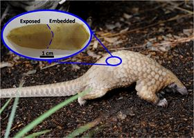 African Tree pangolin with an inset showing a keratinized scale. Arrows indicate the direction of growth.