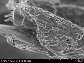 SEM showing bacteria growing on the surface and inside a hollow Kapok fiber, which will facilitate charge transport. (Courtesy of Liangbing Hu.)