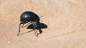 This is a photo of the Namib Desert Beetle, whose bumpy shell inspired the development of a novel surface that can control the growth of frost caused by condensation. Photo: Wikimedia Commons.