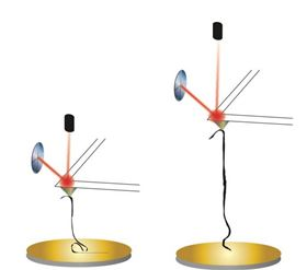 Researchers at Rice University used the tip of an atomic force microscope (AFM) on a cantilevered arm to pull at a GNR, in the same way they would use it to pull apart a protein or a strand of DNA. The AFM can be used to measure properties like rigidity as the GNR is manipulated by the tip. Image: Kiang Research Group/Rice University.