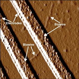 This image shows a biowire making an electrical connection between two electrodes. Image: UMass Amherst.