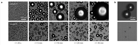 This series of optical microscope images show (a) the patterns formed by the condensation of water from a supersaturated atmosphere on surfaces textured with nanocylinders (top row) and nanocones (bottom row) throughout a 45-minute period. Both textures start out covered with microdroplets, but the cylindrical texture shows large droplets forming over time that stick to the surface. In contrast, the conical texture resists dew formation because the water droplets adhere so lightly to the surface that when two drops join together (b, top), they gain enough energy to spontaneously jump off the surface (b, bottom). Images: Nature Materials.
