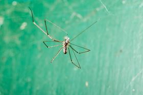 Scientists at the University of Trento sprayed 15 Pholcidae spiders with water containing the nanotubes or graphene flakes.