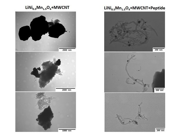 Images on the left show no specific interactions between cathode material LiNi0.5Mn1.5O4 and MWCNTs, observe formation of CNTs bundles that attached to material non-specifically during water evaporation from the TEM grid.  Images on the right indicate that presence of multifunctional 24-mer peptide with two binding domains, one for LMNO and another for CNTs, allows to form dispersed CNTs conjugated to LMNO particles at the nanoscale.