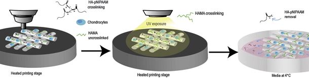 Versatile bioink prints tissue scaffolds in 3D
