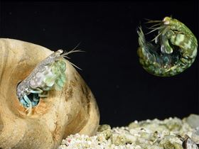 Mantis shrimp can fight without getting injured. Researchers are mimicking the tail segment structures that make this possible. Photo: University of California, Berkeley image/Roy Caldwell.