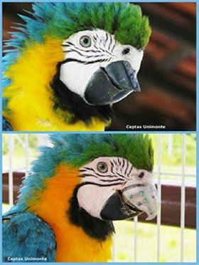Gigi before and after the 3D printed beak was implanted.