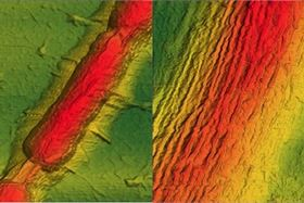 This is an atomic force microscopy image of a graphene sheet draped over a Bacillus bacterium (left). After applying vacuum and heat treatment, regular wrinkles form in the graphene (right, at twice the magnification). Image: University of Illinois at Chicago/Vikas Berry.