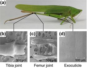 Photo and scanning electron micrographs of katydid leg joint.