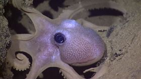 This octopus has color-changing cells, called chromatophores, in its skin, which inspired the development of a 3D-printed smart gel by Rutgers engineers. Image: NOAA Okeanos Explorer Program, Galapagos Rift Expedition 2011.