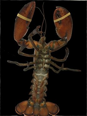 Photo of a lobster showing its tough but flexible underbelly membrane.