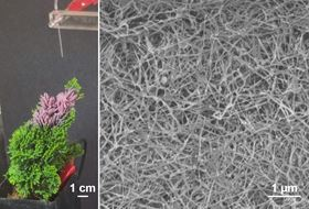 (Left) Photo of a nanowire forest being sprayed onto a miniature tree; the purple color is due to embedded gold nanoparticles. (Right) Electron microscope image of the nanowire/nanoparticle blend. Image: (left) Jonathan P. Singer; (right) Lin Lei.