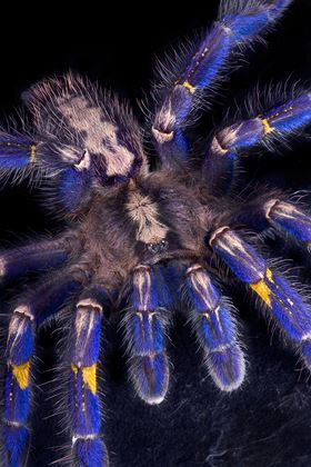 One source of the biological inspiration of the research – a Gooty Sapphire Ornamental tarantula (credit: Cathy Keifer, Dreamstime.com)