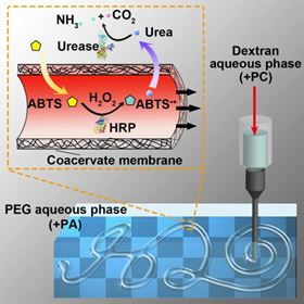 UMass Amherst materials scientist Thomas Russell and others have taken advantage of differences in electrical charge to create an all aqueous, water-in-water construct that achieves compartmentalization in a synthetic system via a coacervate membrane. Image: UMass Amherst/Russell Lab.