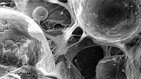 This image shows cells adhering to a titanium alloy created by cold-spray 3D printing, demonstrating the material's biocompatibility. Image: Cornell University.