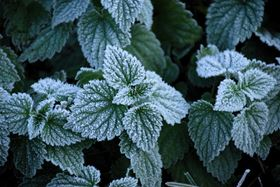 Frost forms on the convex regions of these mint leaves, but not on the concave veins. Photo: Stephan Herb.