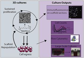 Utilizing polyHIPE scaffolds for the culture and analysis of human peripheral blood hematopoietic stem and progenitor cell expansion and proliferation.