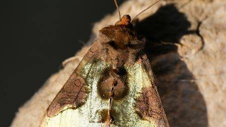 Burnished Brass the biomimetic moth
