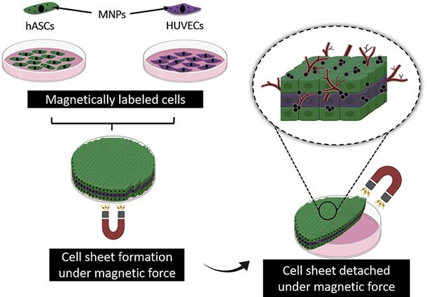 The route to bone repair with magnetic cell sheets