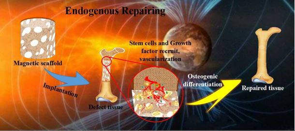 Figure 2 Schematic denoting the strategy of facilitated endogenous bone tissue engineering. Driven by the magnetocaloric effect of ambient magnetic field in the earth, magnetic scaffold could in situ recruit endogenous stem cells and chemokines to damaged sites and facilitate osteogenic differentiation to achieve endogenous bone tissue regeneration.