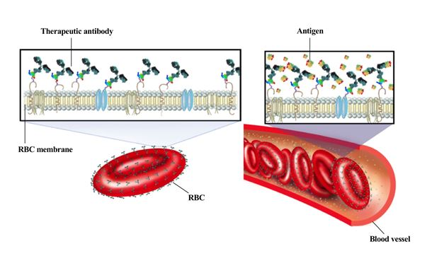 Arming red blood cells with antibodies