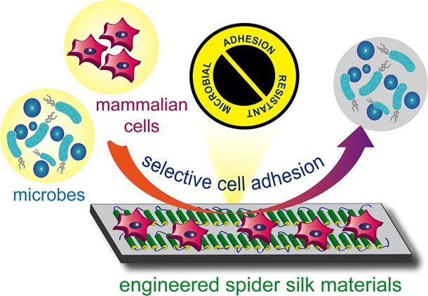 Engineered spider silk-based 2D and 3D materials prevent microbial infestation